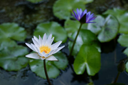 Beautiful lotus blossoms blooming in the pond Reklamní fotografie
