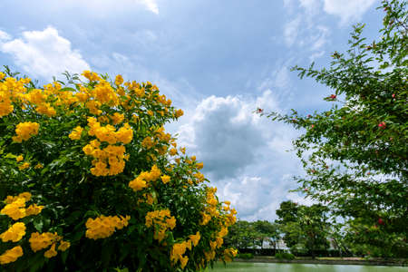 Yellow flowers that are blooming beautifully in the tropics.