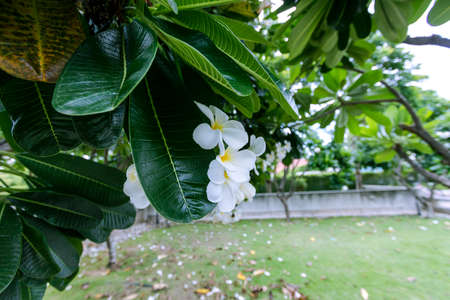 White plumeria flowers that are blooming beautifully on the tree.