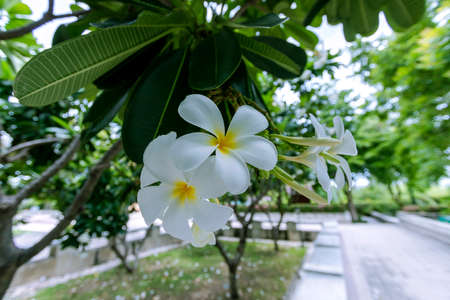 White plumeria flowers Which is blooming beautifully Stock fotó