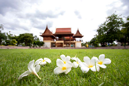 Plumeria flowers on the lawn and Thai houses with blurred background.