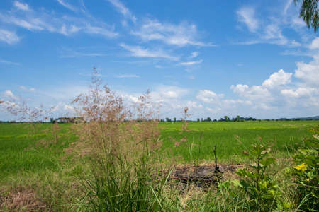 The scenery of the vast rice field with the blue sky in the background