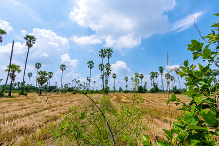 View of rice fields and palm trees in Pathum Thani Province in Thailand Reklamní fotografie
