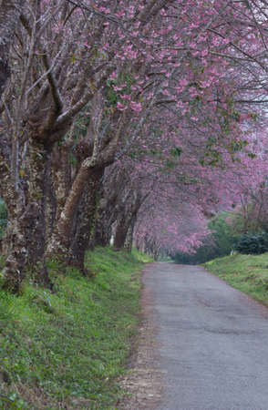 Pink sakura on road in thailand  photo