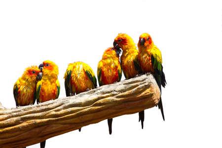 conure birds