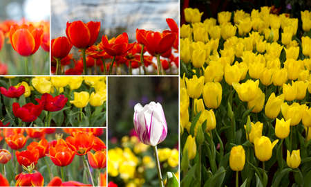 multi tulip Stock Photo