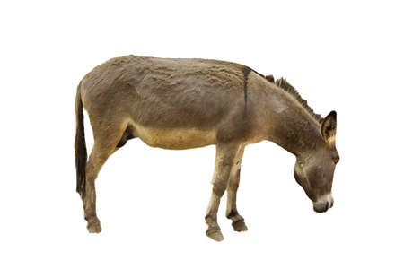 jack ass: donkey isolate Stock Photo
