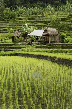rice field landscape in bali indonesia photo