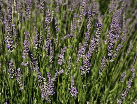 lavender field detail photo