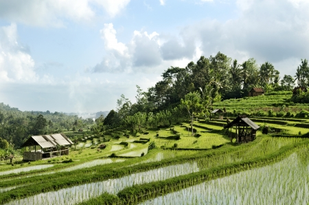 rice fields: terraced rice field landcape in bali indonesia Stock Photo