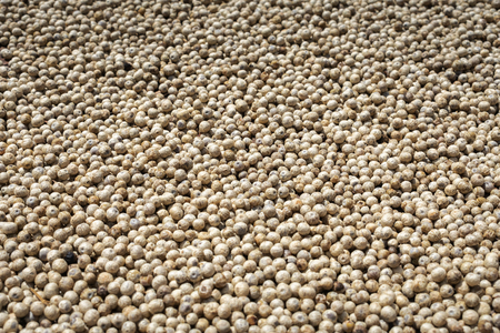 many asian white peppercorns drying in the sun background image