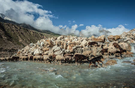 India  Nimachal Pradesh  The Himalayas  Riverheads of Chandra  Transition of herd of animals through river Chandra inflow The herd is conducted by the trained sheep-dog   Stock Photo - 17078513