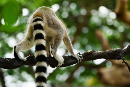Close-up portrait of lemur catta (ring tailed lemur) at the khaokheow open zoo thailand. Stok Fotoğraf