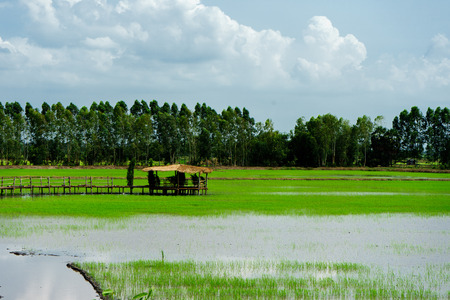 An old house in the rice paddy dykes with a background of the trees.