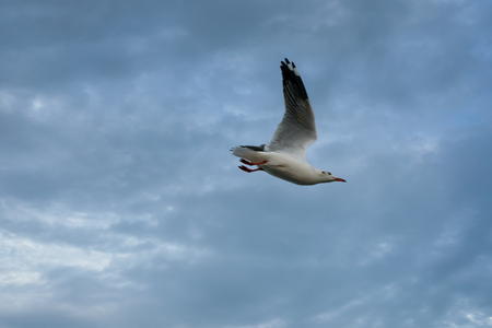 Single seagull flying in a sky as a background at Bangpoo. Banque d'images