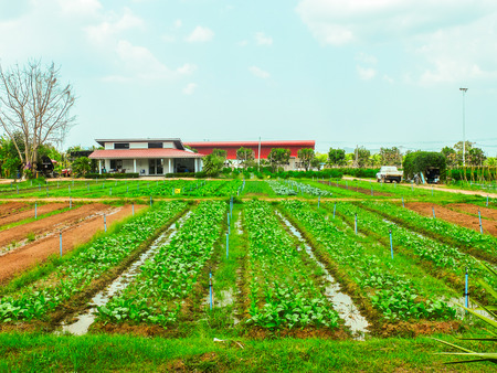 potato tree: Field of Vegetables and Small Ditch for Agriculture Industry