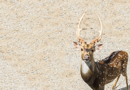 looking in corner: Single Brown Male Deer at The Corner Looking at You with Copyspace used as Template Stock Photo