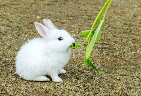 munch: Cute Small Baby Easter Bunny (White Rabbit) Sit and Eat Vegetable on The Ground Stock Photo