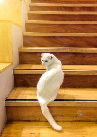 Cute White Fluffy Cat With Different Color Blue Yellow Eyes Sit And Look  Back From Wooden