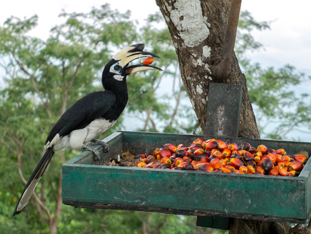 Close up portrait of Single Wild Oriental pied hornbill Bird (Anthracoceros albirostris) eating red wild fruits in Green Basket