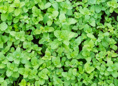 Fresh Green Mint Leaves Growing in The Vegetables Garden for Salad or Recipe of Foods used as Natural Background Texture