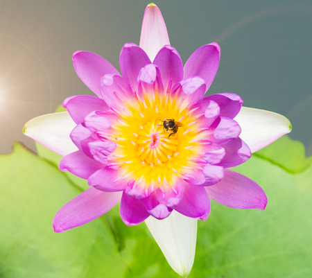 Beautiful Blooming Lotus Flowers with Bee inside in The Pond during Summer Season used as Template to mock up or input Text as Nature Background