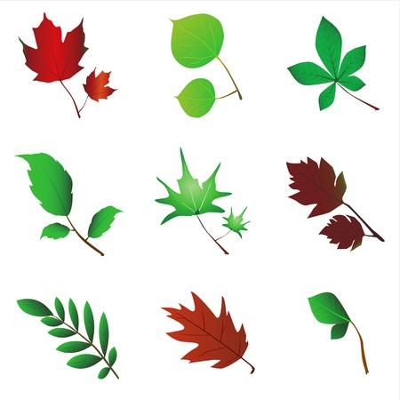 sycamore leaf: leaf vector