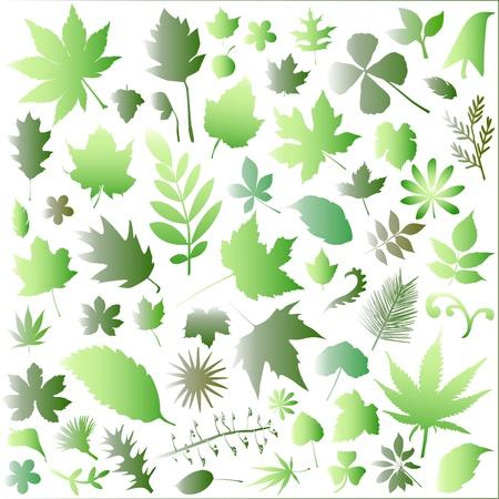 sycamore leaf: leaf big set  Illustration