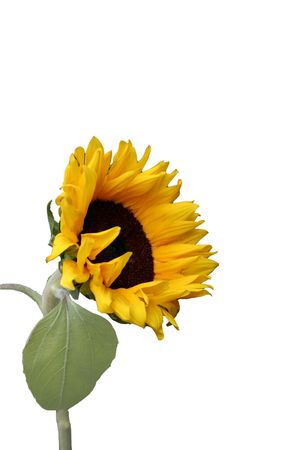 Isolated Sunflower Stok Fotoğraf