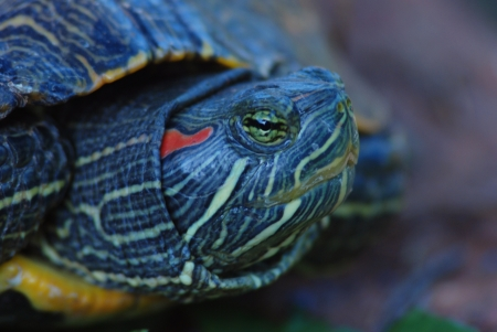 A red-eared terrapin peeking out Banco de Imagens
