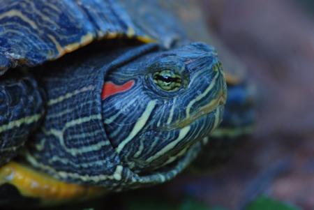 terrapin: Un rosso-tartaruga dalle orecchie che spuntano