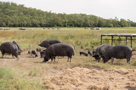 Pigs feeding on an organic farm Reklamní fotografie