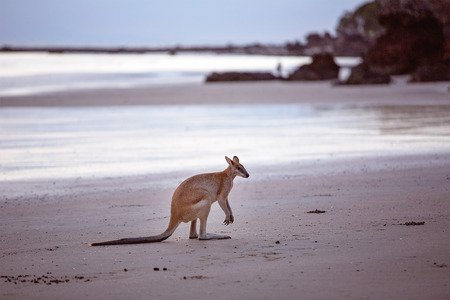 A kangaroo on the beach at dawn at Cape Hillsborough Australia Stock Photo
