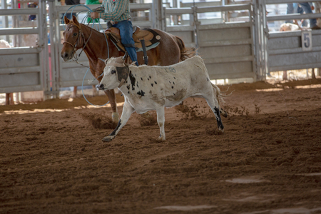Calf roping event at a country rodeo in Australia