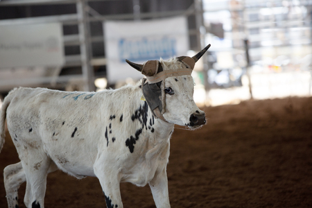 Calf after calf roping event at an indoor country rodeo in Australia