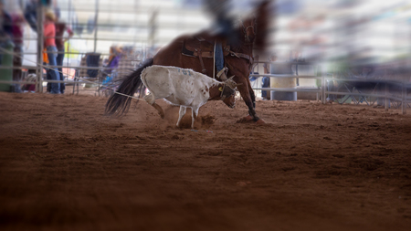 Calf being roped at an event at an indoor country rodeo in Australia