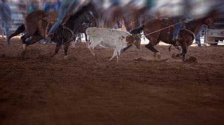 Team calf riding event with two horses and riders trying to lasso a running calf at an indoor country rodeo in Australia Editorial