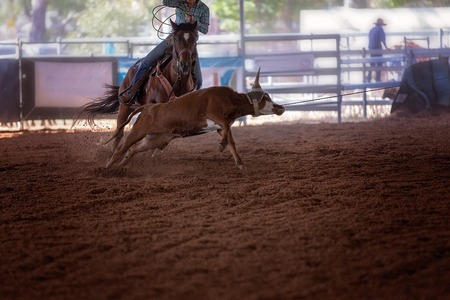 Roping a calf event at an indoor country rodeo