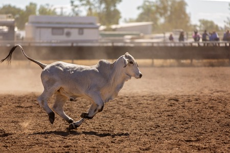 A calf runs in the dust in a campdrafting event at a country rodeo. Campdrafting is a unique Australian sport involving cowboys working and herding cattle.