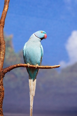 Blue Indian ring neck parrot sitting on a branch with wire cage background against a blue sky Stock Photo