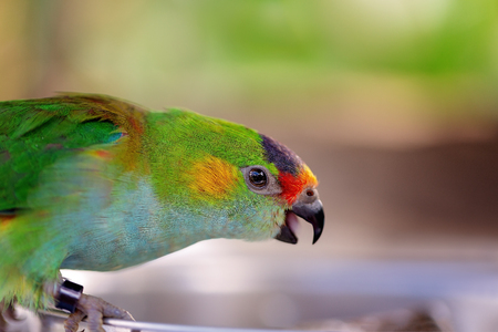 Colorful Australian fig parrot looking for seed to eat