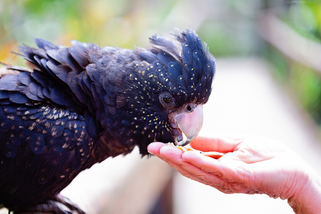 Close up of a black cockatoo eating seed out of a woman's hand Archivio Fotografico