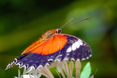 An Orange Lacewing butterfly alighting on a white garden flower against a green background