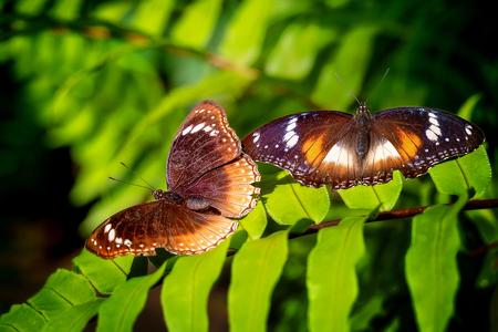 A brown butterfly alighting on a green garden fern
