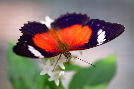 An Orange Lacewing butterfly alighting on a white garden flower isolated against a blurred background 스톡 콘텐츠