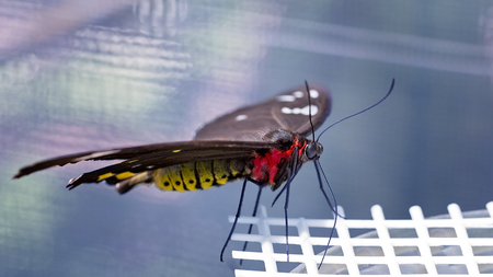 A red and yellow butterfly with brown wings alighting on a plastic feeder in a tourist attraction enclosure