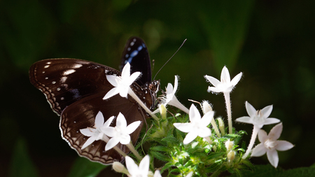 A brown butterfly alighting on a bunch of white flowers in the garden