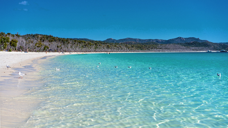 Seagulls swimming in the blue water of Whitehaven white silica sand beach in Whitsunday Islands Australia