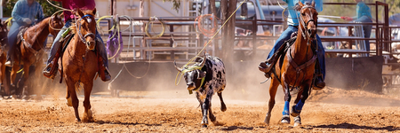 Calf being lassoed in a team calf roping event by cowboys at a country rodeo Editorial