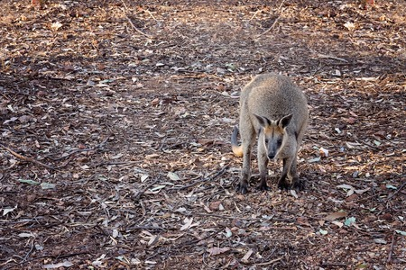 Australian rock wallaby looking for food Stock Photo